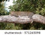 leopard  panthera pardus ... | Shutterstock . vector #571265098