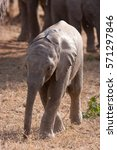 Small photo of african bush elephant, loxodonta africana, Kruger national park, South Africa