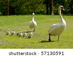 Mother And Father Swan With...