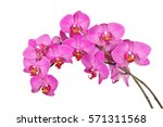 purple orchid flower with veins ... | Shutterstock . vector #571311568