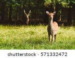 Wild Deers Pair In Jaegersborg...