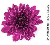 lilac chrysanthemum flower... | Shutterstock . vector #571342102