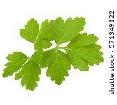 fresh parsley herb leaves ... | Shutterstock . vector #571349122