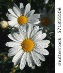 Small photo of Alpine aster (Aster alpinus) - white semi-double flowers,Daisy