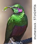 Small photo of The emerald starling (Lamprotornis iris) is also known as the iris glossy starling. It is found in West Africa in the lowlands and savanna of Cte d'Ivoire, Guinea, and Sierra Leone