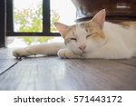 Stock photo cute three colors or tricolor as white orange and black female cat is sleeping on brown wooden 571443172