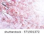 cherry blossom in spring with... | Shutterstock . vector #571501372