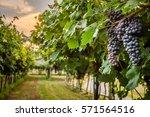 grape harvest | Shutterstock . vector #571564516