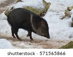 wild pig peccary running in the ... | Shutterstock . vector #571565866