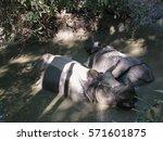 Rhinos Bathing In Chitwan