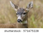 "black tailed ""mule"" deer ... 