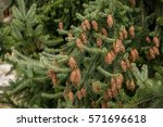 Small photo of Fir Tree: Pine cones weigh down the branches of the fir tree.