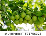Green  Plums On Tree