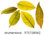Autumn Yellow Leaves With...
