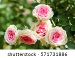 Stock photo pink roses blossom in a garden valentine concept 571731886