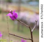Small photo of Nyctaginaceae, Paper Flower in pink-purple color.