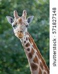 giraffe | Shutterstock . vector #571827148