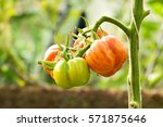 Fresh Tomatoes Plants In The...
