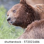 brown bear  ursus arctos | Shutterstock . vector #572021686