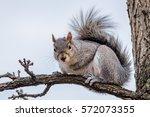 Gray Squirrel Sitting On A...