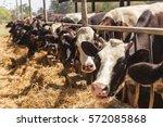 cows in farm | Shutterstock . vector #572085868