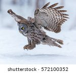 The Great Grey Owl Or Great...