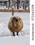 Sheep In The Snow Lamb In The...