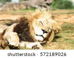 Male Lion Sleeping At Werribee...