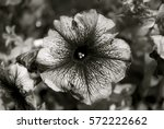 Petunia  Black And White Effect