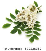 acacia blossom isolated on a...   Shutterstock . vector #572226352
