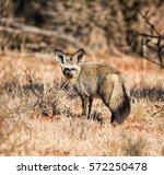 a closeup of a bat eared fox in ... | Shutterstock . vector #572250478