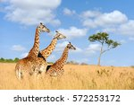 Close Giraffe In National Park...