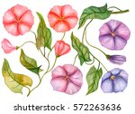 watercolor set of bindweed... | Shutterstock . vector #572263636
