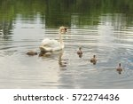 Family Of Swans Swimming In Th...