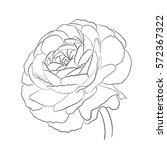 floral ranunculus for design ...   Shutterstock .eps vector #572367322