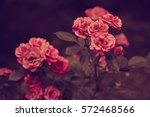 red rose love in sunset  | Shutterstock . vector #572468566