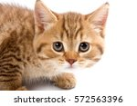 Stock photo funny kitten british cat isolated on white 572563396