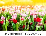 Colorful Tulip Flower Garden I...