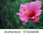 hibiscus | Shutterstock . vector #572636608