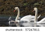 Mute Swans With Cygnets.