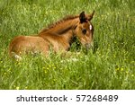 Baby Horse Resting On Spring...