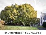 A 4000 Year Old Yew Tree In Th...