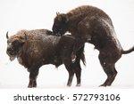 mammals   european bison  bison ... | Shutterstock . vector #572793106