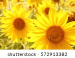 a field of blooming sunflowers... | Shutterstock . vector #572913382