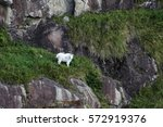 mountain goat climbing in steep ... | Shutterstock . vector #572919376