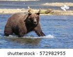 close up of an alaskan brown... | Shutterstock . vector #572982955
