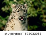 Closeup Of A Snow Leopard...