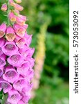 Foxgloves With Green Background