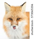 Small photo of Red fox (Vulpes vulpes) licking his lips in Algonquin Park