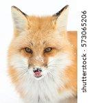 Red Fox  Vulpes Vulpes  Lickin...